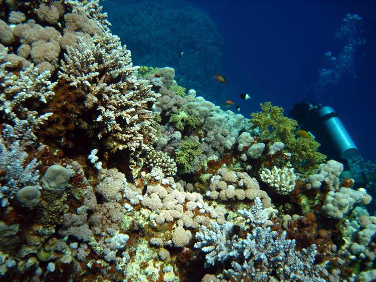 Flot koralrev ved Gabr el Bint