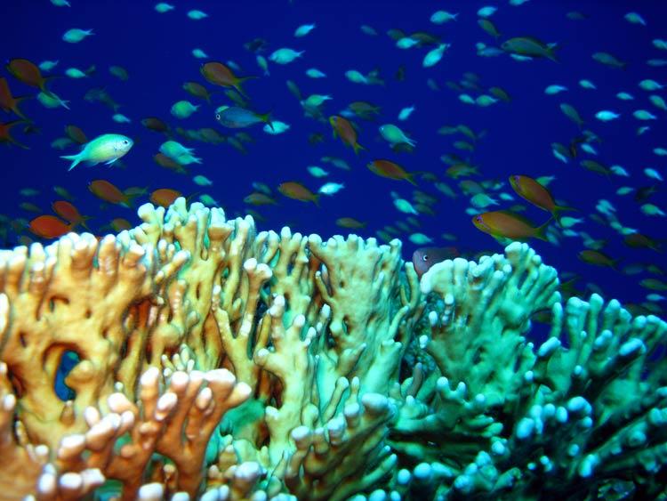 Ildkoraller og fisk ved Gabr el Bint