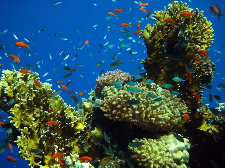 Fisk og koraller ved Shaab Said