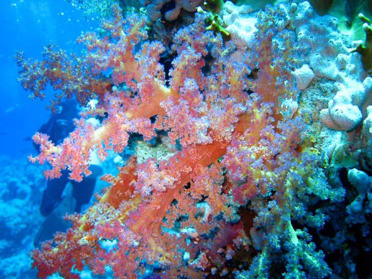 Smuk blødkoral ved Yolanda Reef i Ras Mohammed