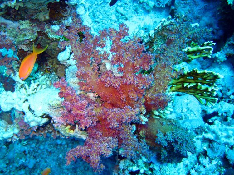 Blødkoral ved Shark Reef i Ras Mohammed