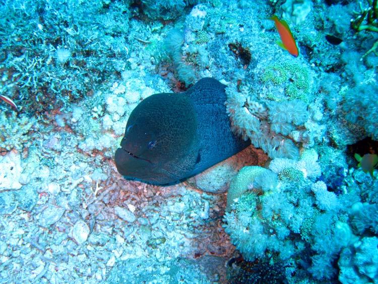 Stor muræne ved Yolanda Reef i Ras Mohammed