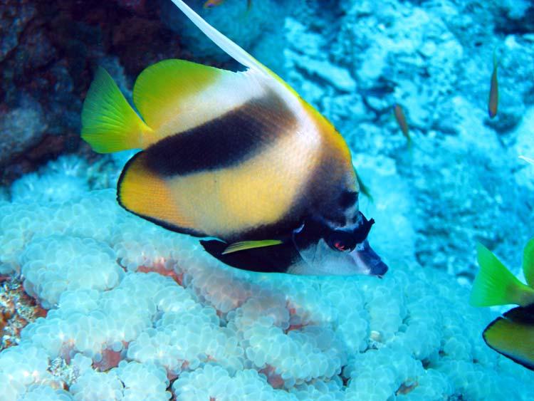 Vimpelfisk ved Yolanda Reef i Ras Mohammed