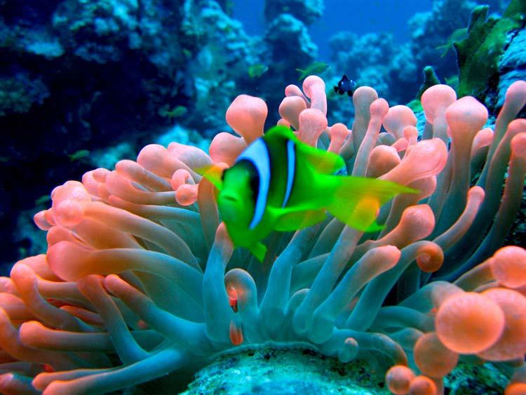 Klovnfisk og anemone