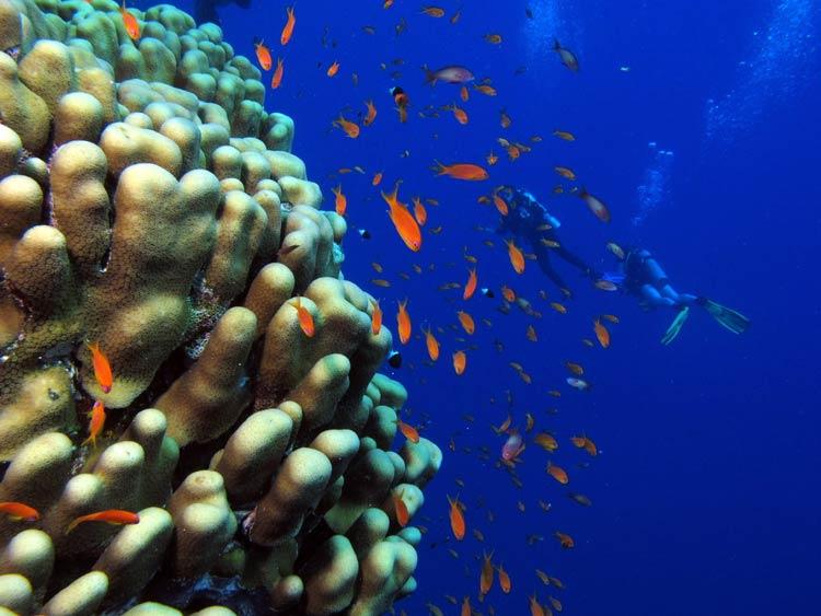 Koraller og fanebarser ved Daedalus Reef