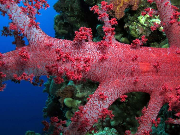 Smuk blødkoral ved Elphinstone Reef