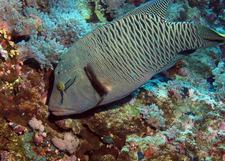 Stor napoleonfisk ved Elphinstone Reef