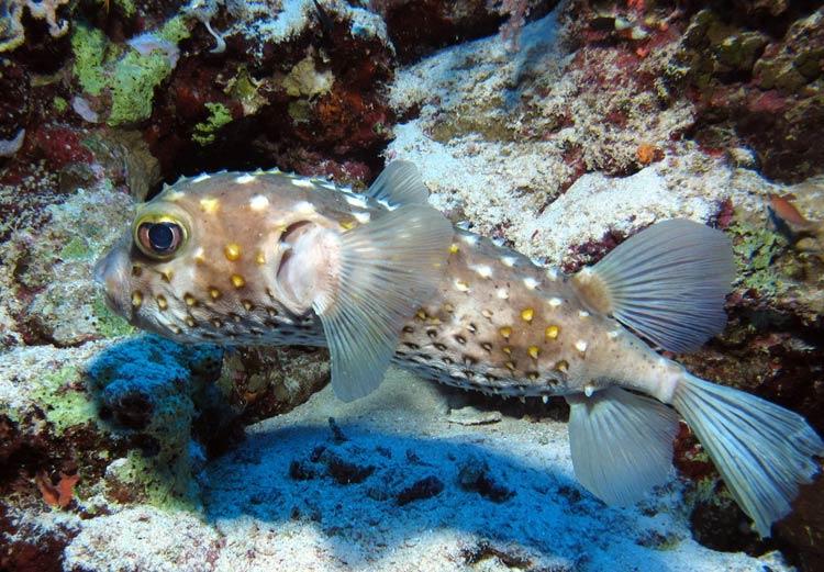 Pindsvinefisk ved Habili Ali, St Johns reefs
