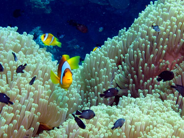 Klovnfisk ved Paradise Reef