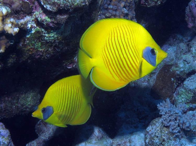 Sommerfuglefisk ved Gota Abu Ghusur Reef