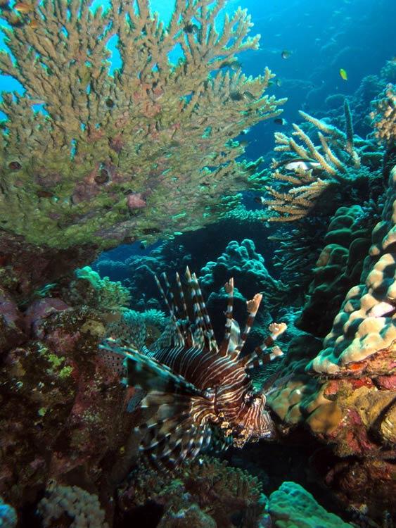 Dragefisk ved Gota Abu Ghusur Reef