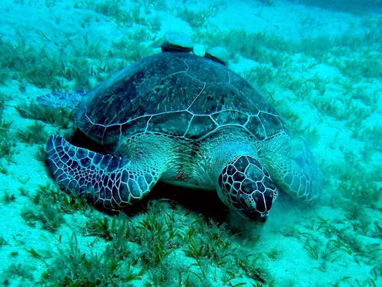 Havskildpadde ved Abu dabab