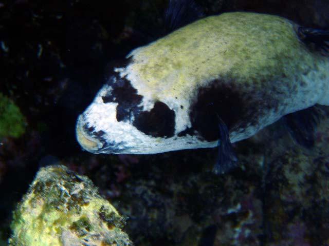Maske-kuglefisk ved Marsa Alam