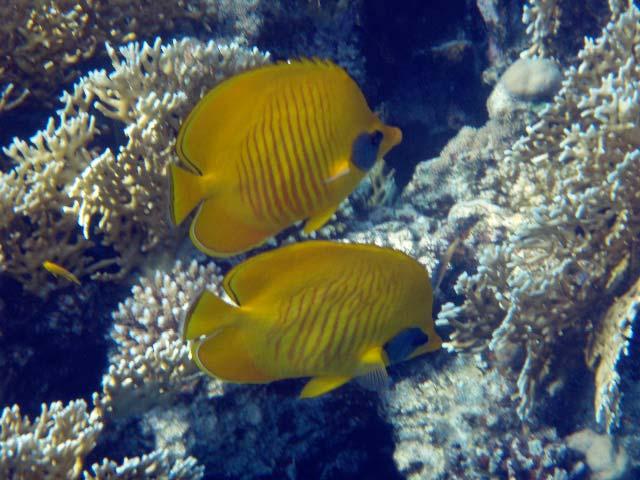 Sommerfuglefisk ved Marsa Alam