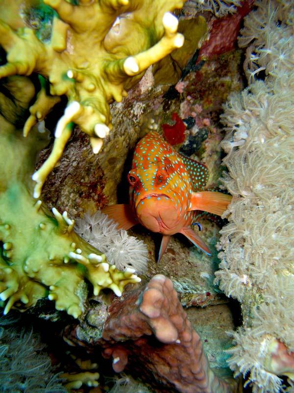 Koral-grouper bliver renset