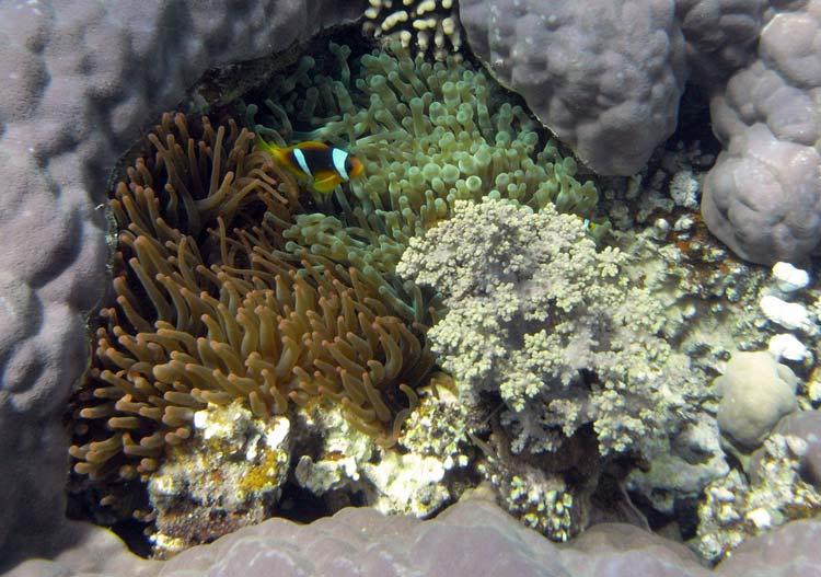 Klovnfisk og søanemoner i Dahab