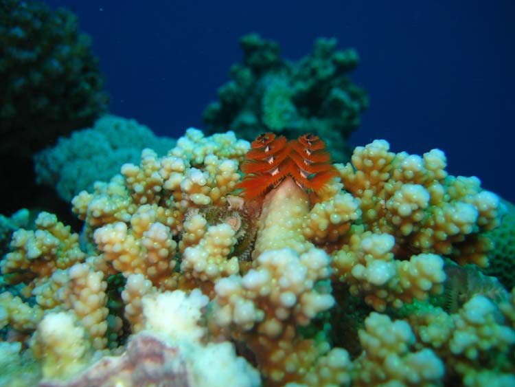 Smukke koraller og juletræsorm i Dahab