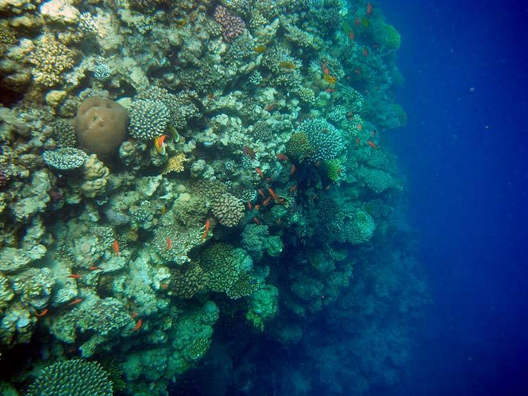 Perfekt koralvæg ved Lighthouse Reef i Dahab