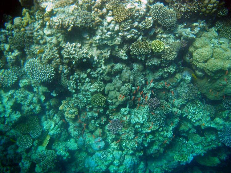Koralvæg ved Lighthouse Reef i Dahab