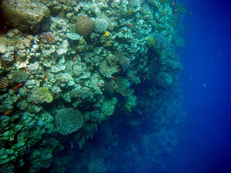 Smuk koralvæg ved Lighthouse Reef i Dahab