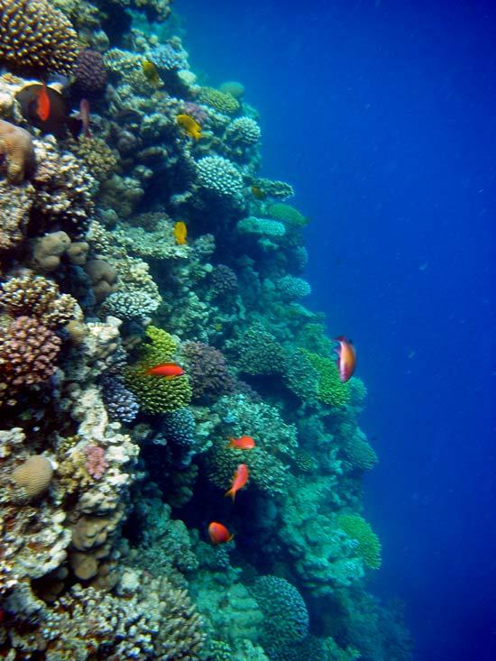 Fantastisk koralvæg ved Lighthouse Reef i Dahab