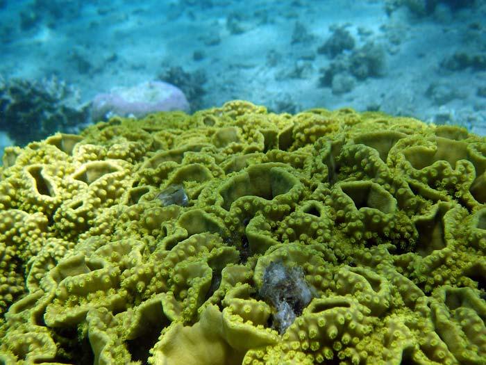 Close-up af salatkoral i Masbat Bay