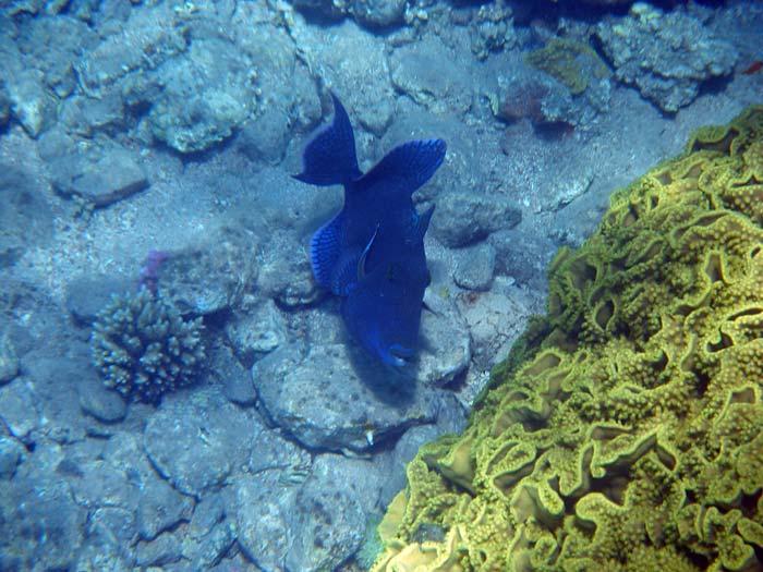 Blå aftrækkerfisk i Masbat Bay