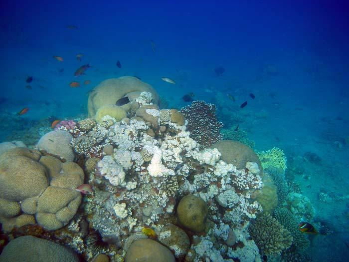 Koralrev i Masbat Bay i Dahab