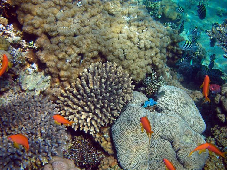 Koraller i Dahab-bugten