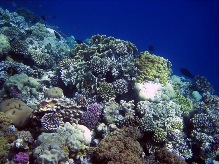 Smukke koraller i Dahab