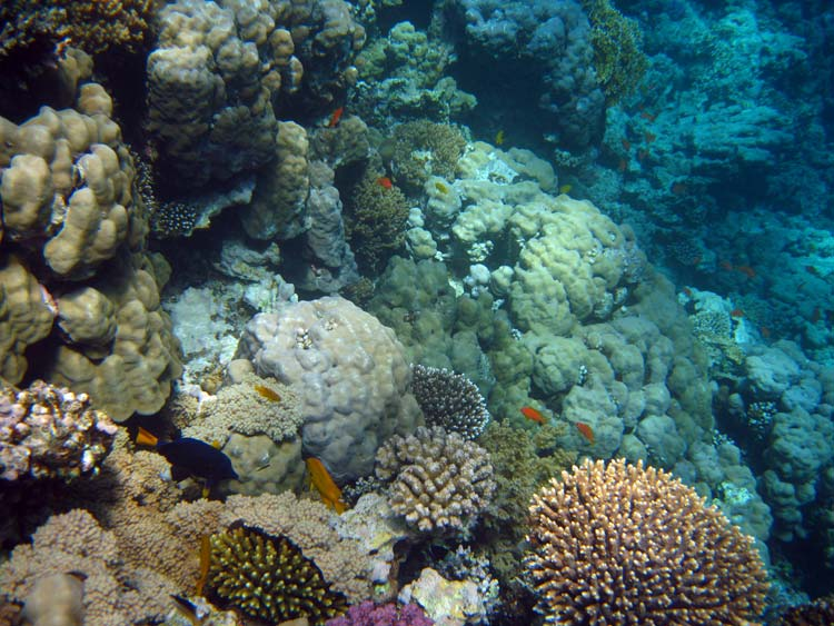 Flotte koraller ved Mashraba i Dahab