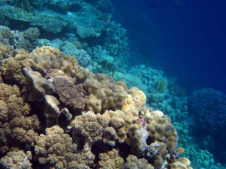 Koraller ved Mashraba reef