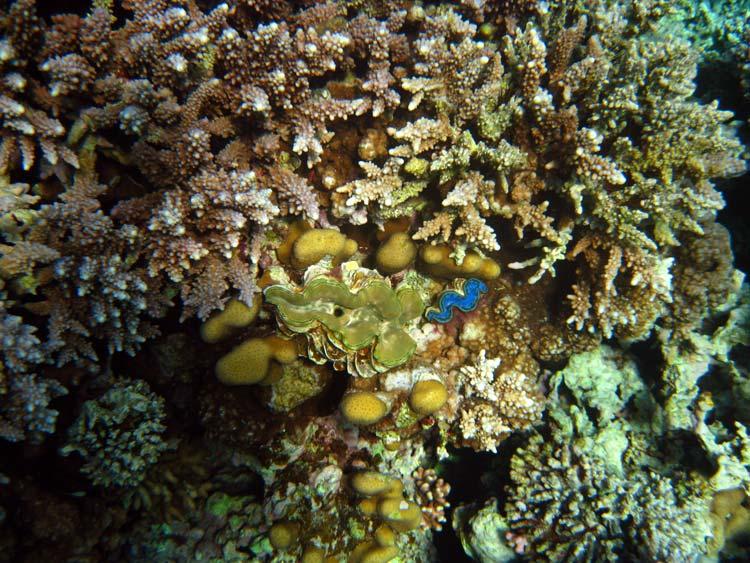 Muslinger blandt koraller ved Abu Helal