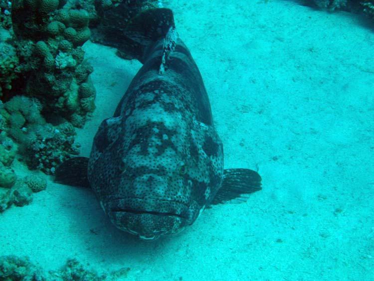 Brownmarbled grouper ved Abu Helal