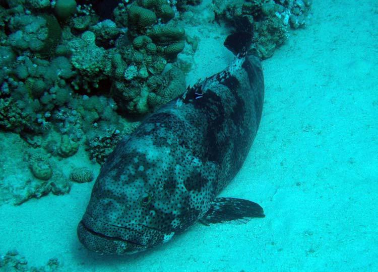 Stor brownmarbled grouper ved Abu Helal
