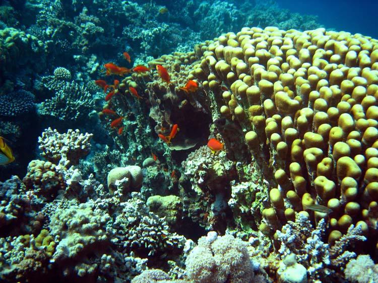 Koraller og fisk ved Abu Helal