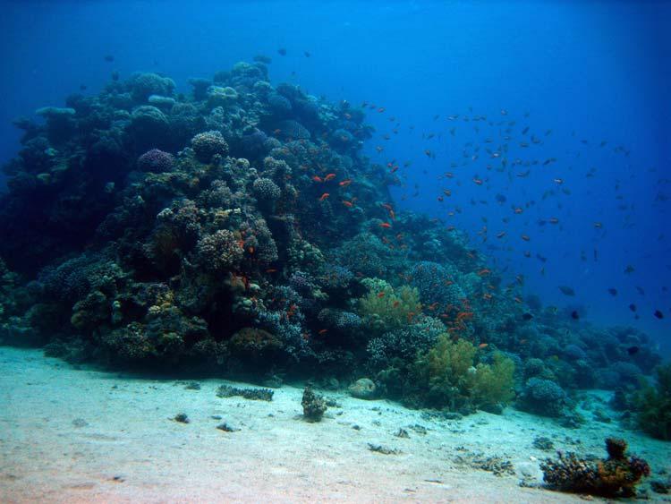Koralklippe ved Abu Galum