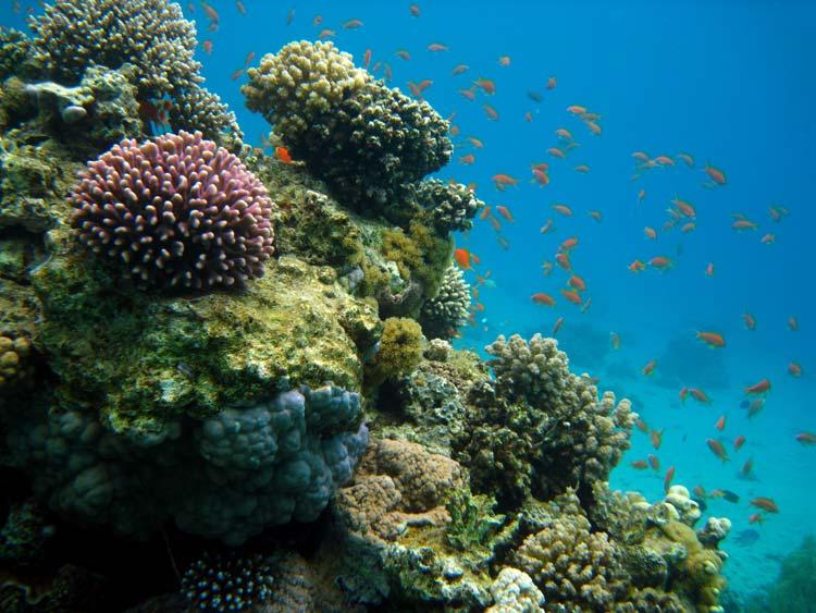 Sundt koralrev ved A'Maied i Ras Abu Galum