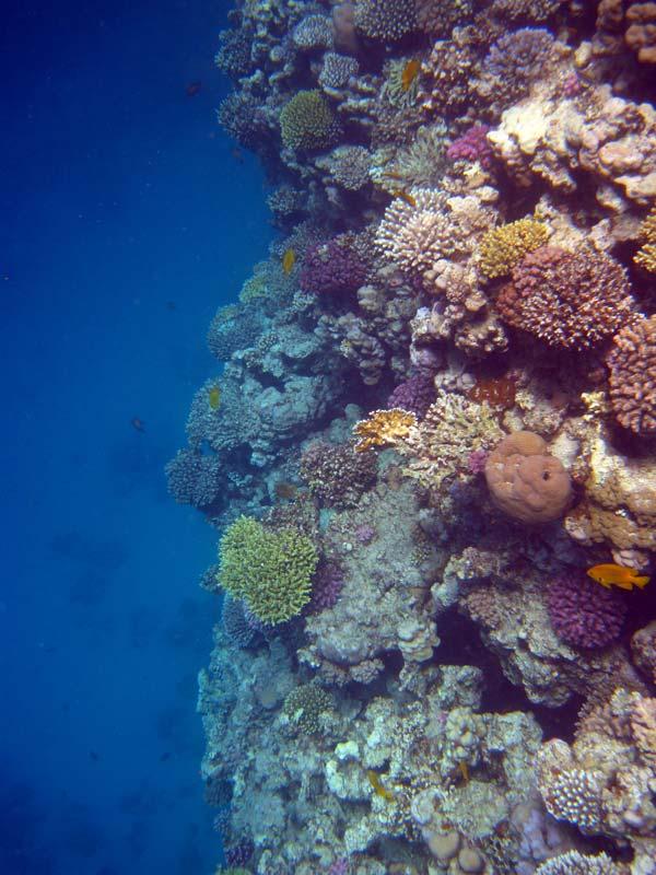 Koralvæg ved Lighthouse Reef