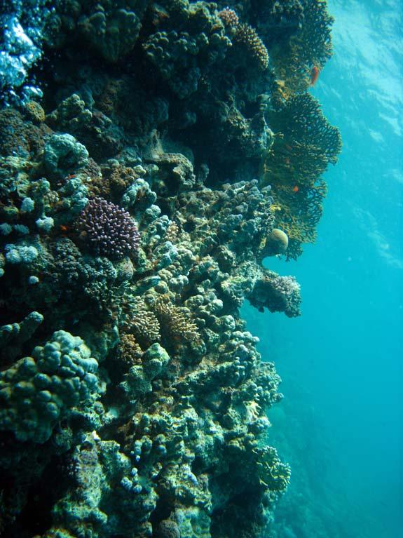 Koralvæg i Dahab