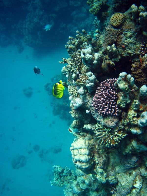 Koralvæg ved Umm Sid i Dahab