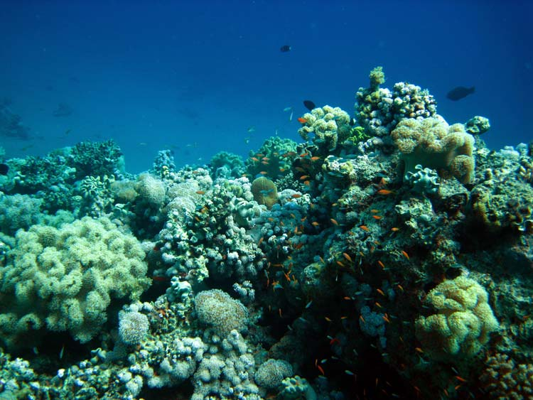 Flotte koraller ved Three Pools