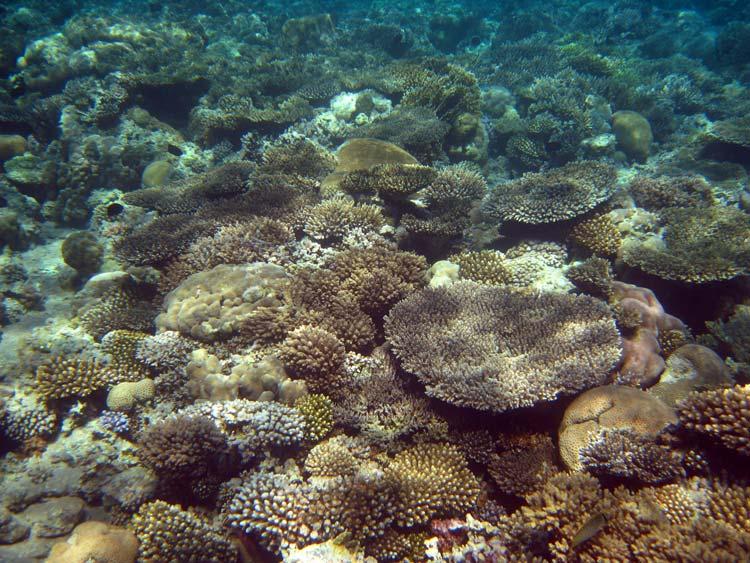 Koralrev i Dahab-bugten