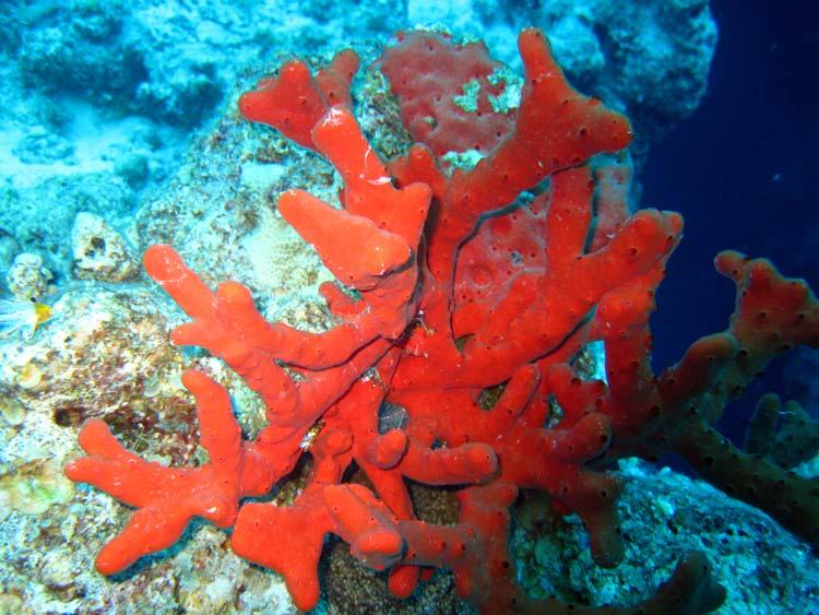 Rød svamp ved The Bells i Dahab