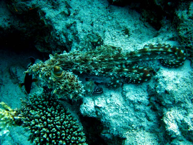Stor blæksprutte ved The Bells