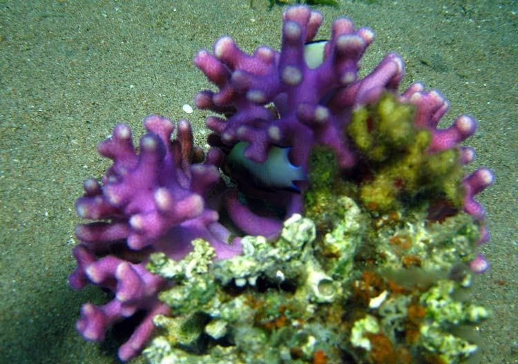 Koral og fisk ved Golden Blocks