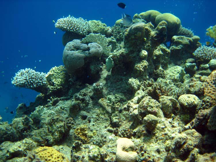 Koraller ved Golden Blocks