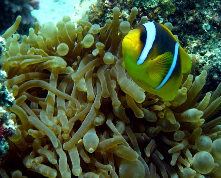 Klovnfisk og søanemone