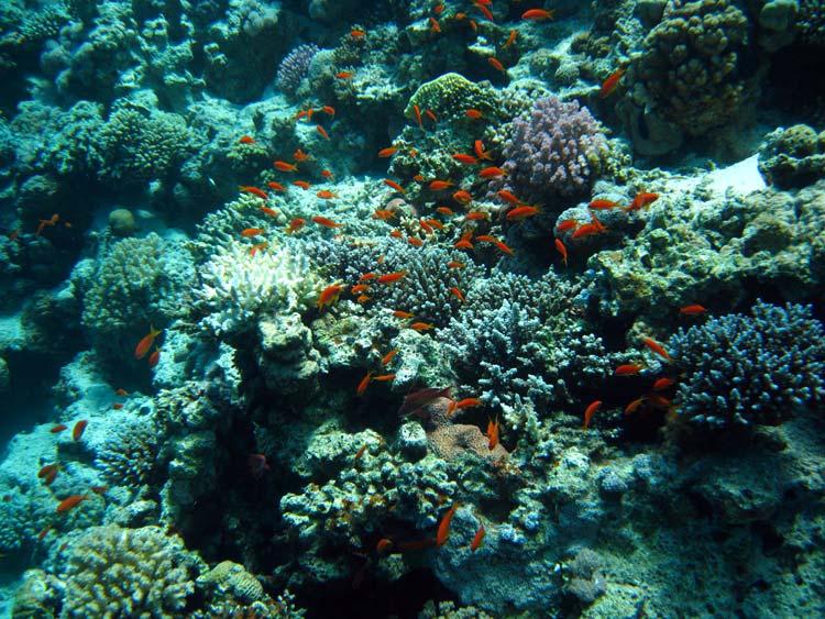 Koraller og fanebarser ved Blue Hole