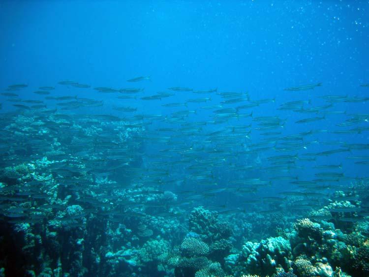 Gulhalede barracudaer ved The Islands
